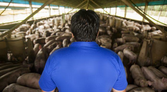 Capa do artigo sobre redução de antibiótico em suínos