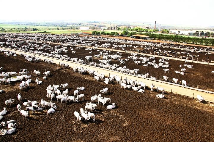 fotografia de vários bovinos - foto referente o artigo com o tema sobre boitel